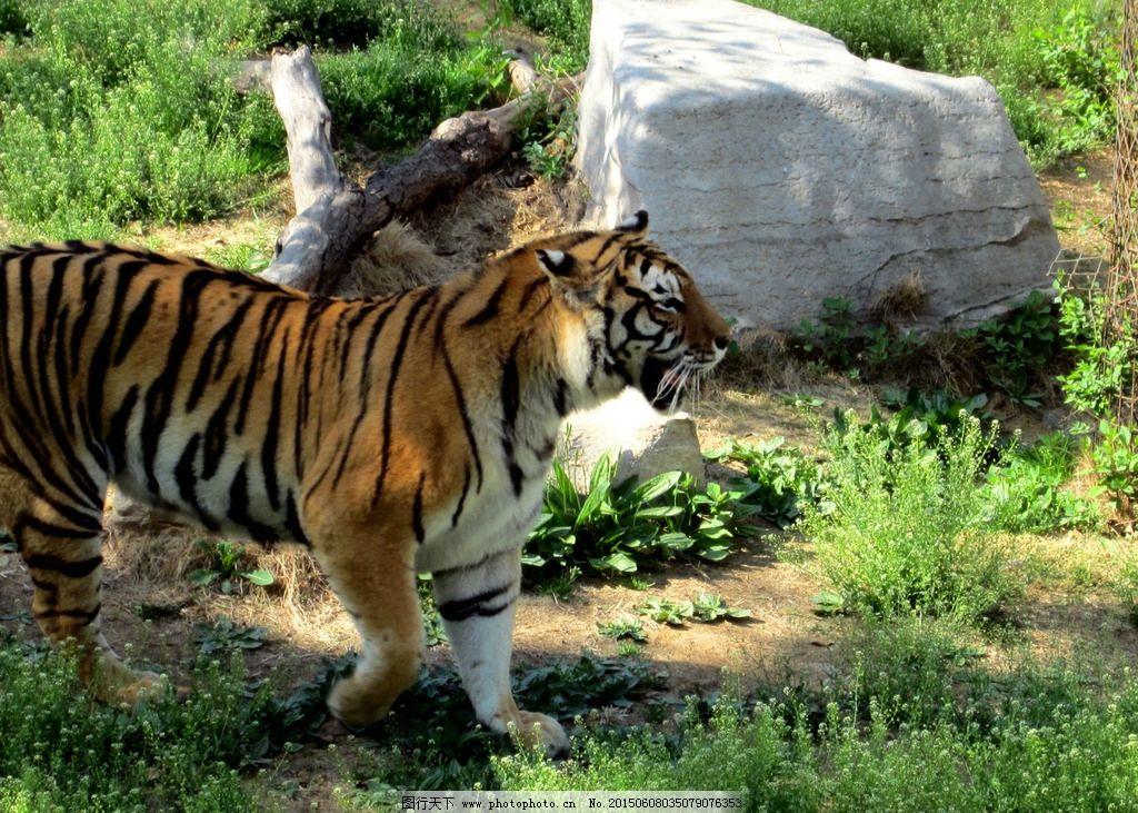 老虎 动物 壁纸 动物园 威慑 摄影 生物世界 野生动物 180dpi jpg
