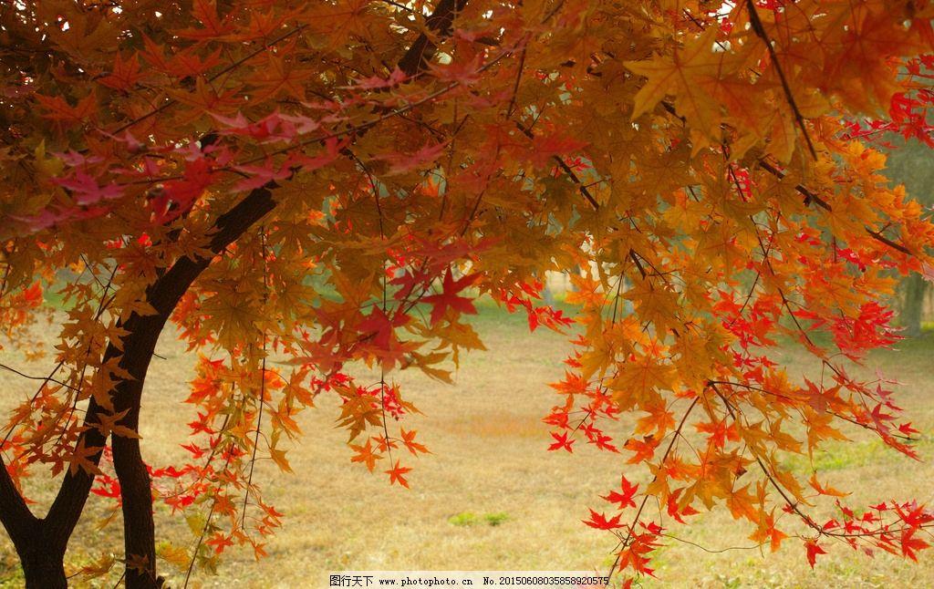 秋天 金秋 红叶 自然 环境 四季 北京 摄影图片