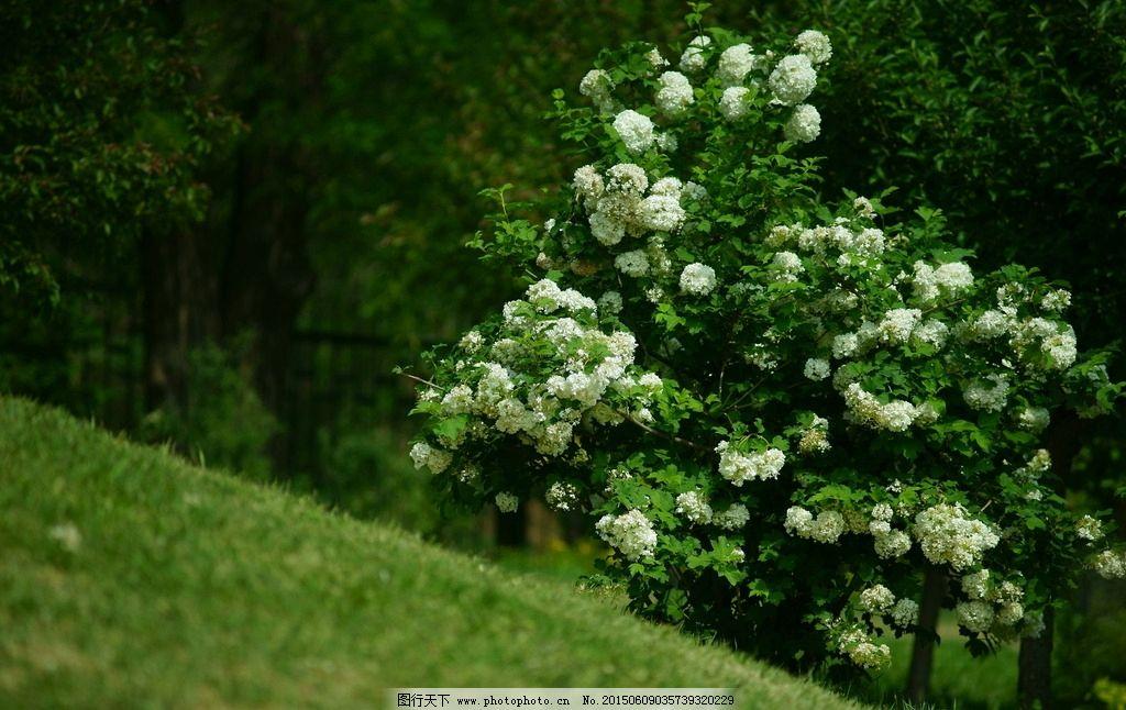 植物 花卉 花 自然 大自然 绿色 四季 绿叶 绣球花  摄影 生物世界