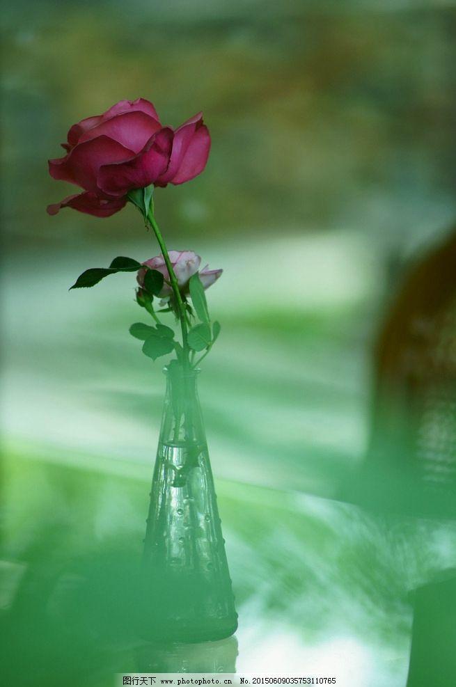 植物 花卉 花 自然 大自然 绿色 月季花 月季 摄影 生物世界 花草 350