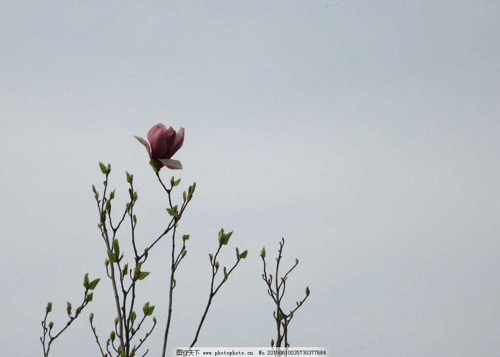 花 红花 玉兰花 玉兰树 树叶 池州 摄影 生物世界 花草 180dpi jpg