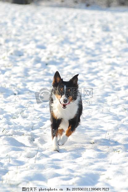 澳大利亚牧羊犬 狗 雪 宠物 德国每天指针 乐趣 冬天 动物 冷