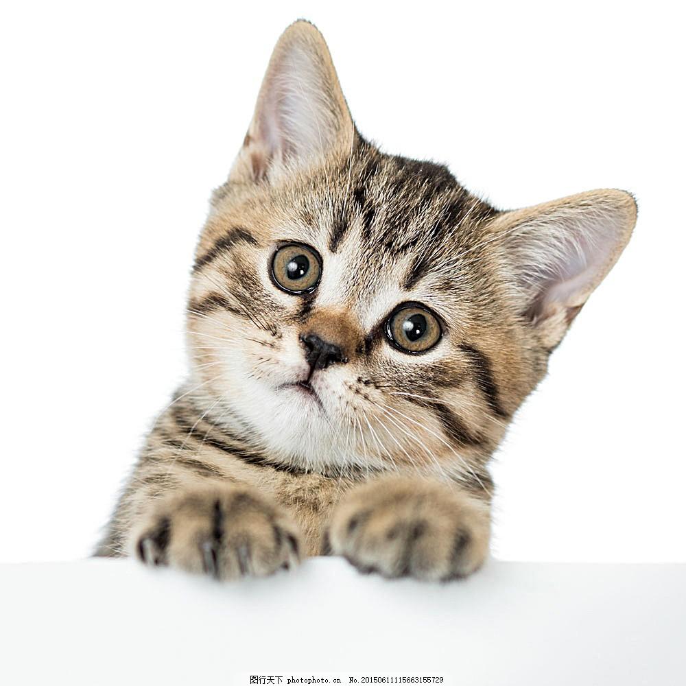 可爱萌宠猫咪 小猫 宠物 动物世界 动物摄影 陆地动物 生物世界