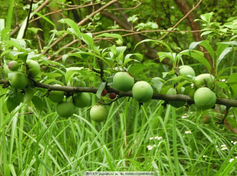 青梅果树 果园 风景 自然风光 农家果园 水果 生物世界 摄影