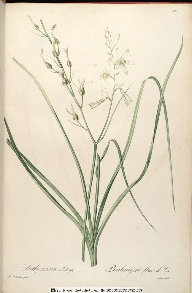 兰花手绘 植物圣经图片