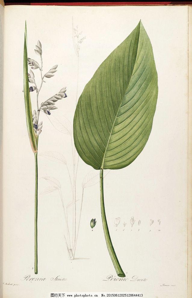 手绘兰花 雷杜德植物插画图片