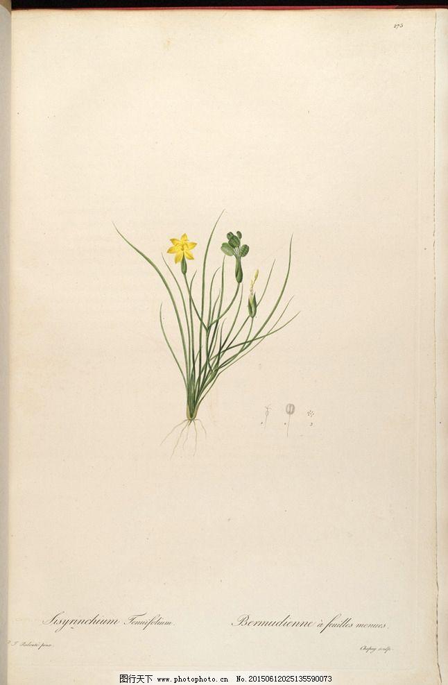 兰花 奥托手绘彩色植物图谱图片