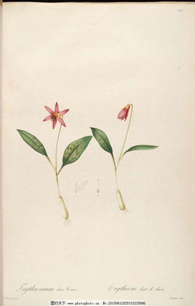 兰花 雷杜德手绘花卉插画图片