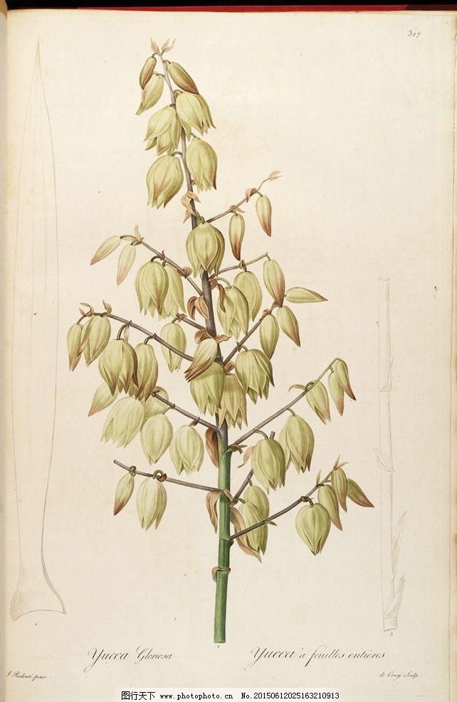 兰花手绘插画 雷杜德植物圣经图片