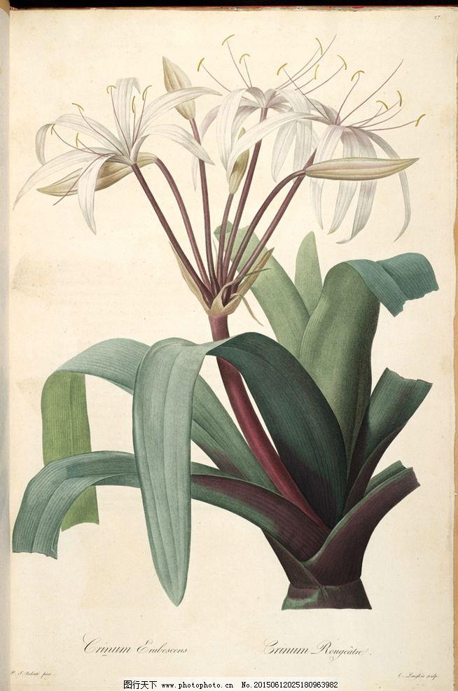 雷杜德 手绘兰花 植物图图片