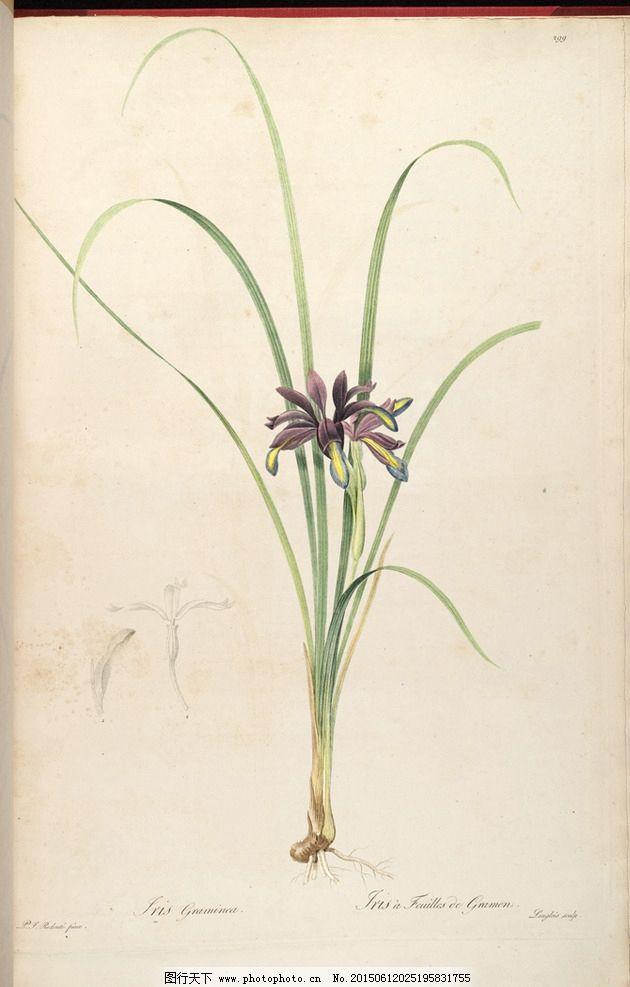 兰花手绘 雷杜德植物圣经图片