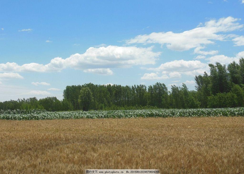 麦浪 麦穗 蓝天 白云 自然风景 麦田风光图片 摄影 自然景观 田园风光