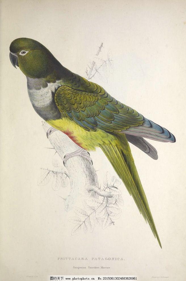 高清鸟类插画 手绘鹦鹉 装饰画图片