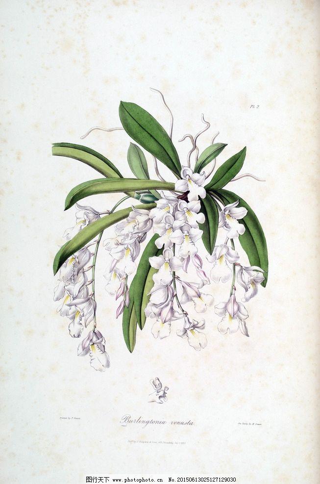 兰花 手绘花卉 植物图谱图片