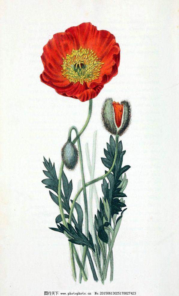 虞美人 罂粟花图片