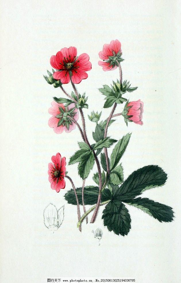 鲜花 植物 花园花卉大全 手绘图片