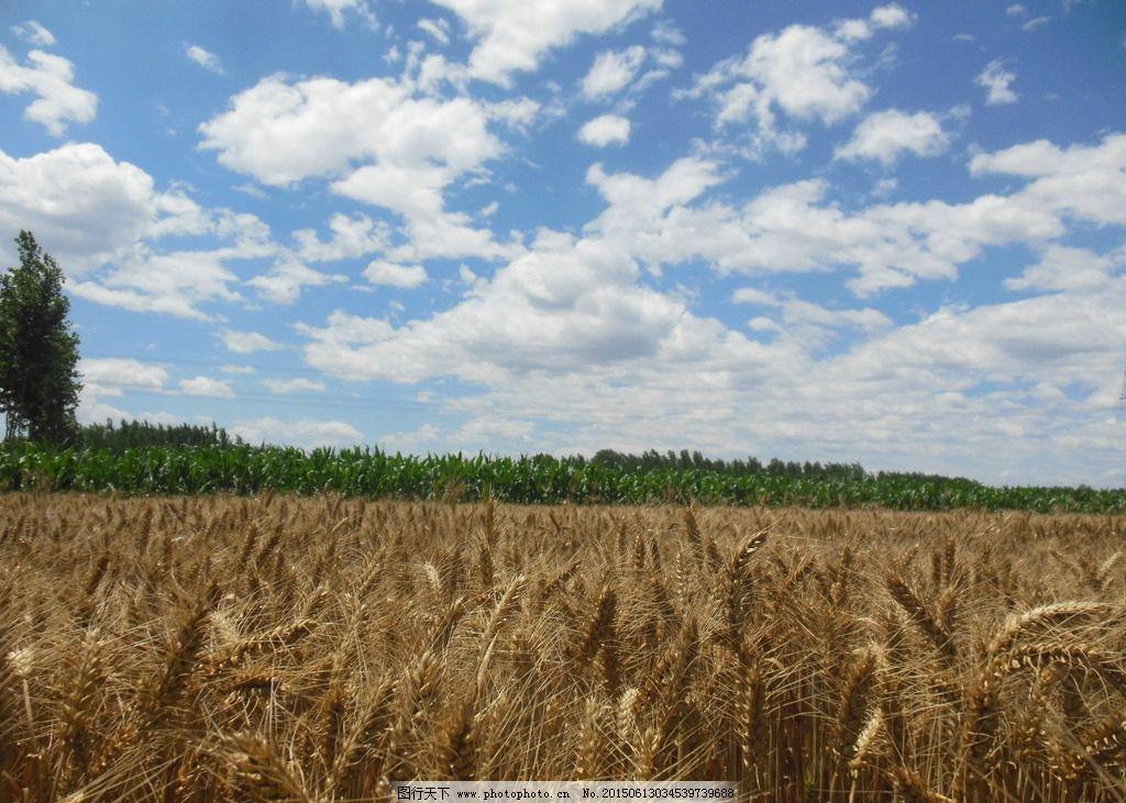 田野 麦田 麦浪 麦穗 蓝天 白云 自然风景  摄影 自然景观 田园风光 3