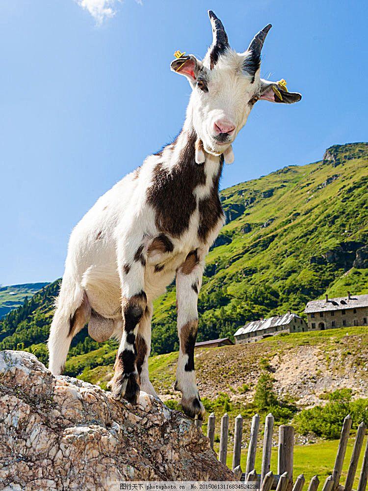 山石上的羊 山羊 生物世界 动物世界 野生动物 陆地动物 图片素材