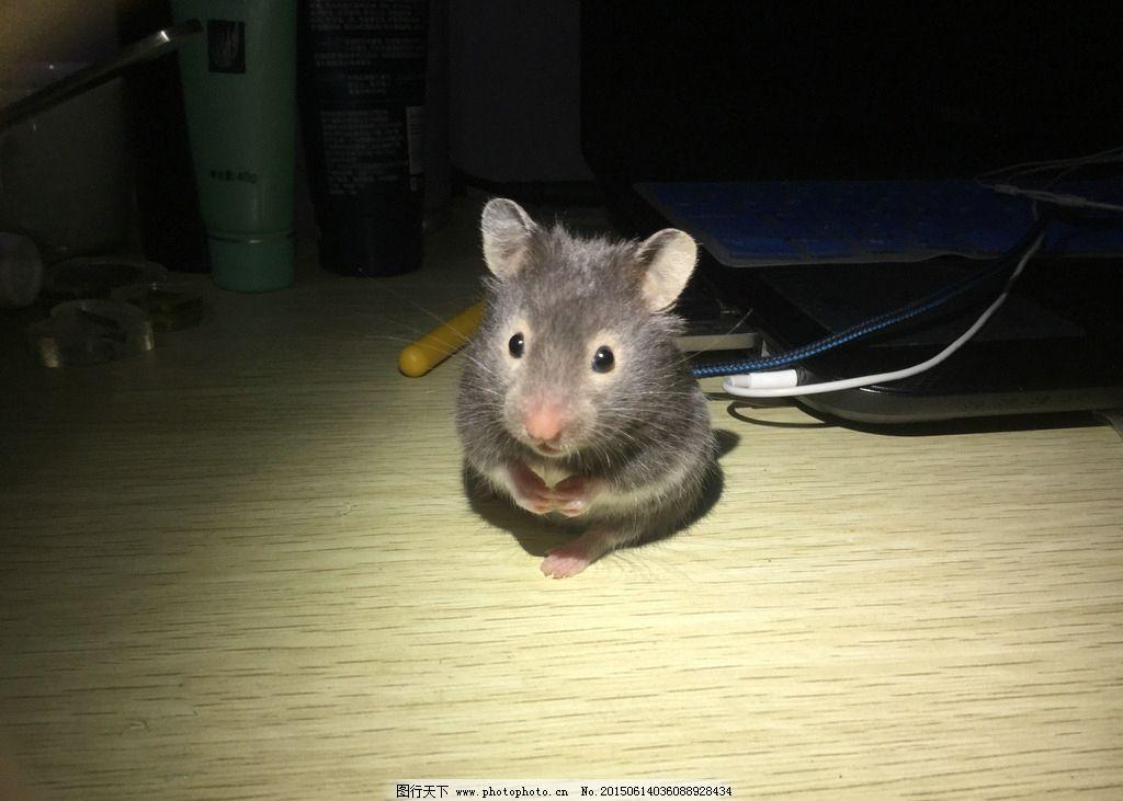 桌面壁纸 仓鼠手绘
