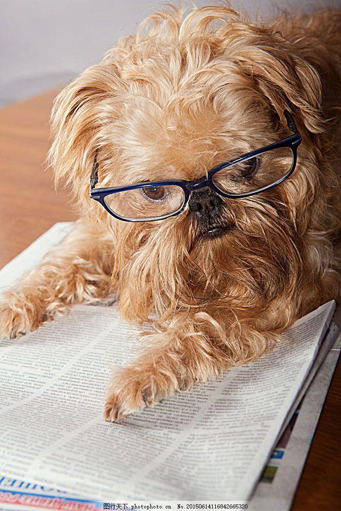 戴眼镜看报纸的小狗图片 报纸 小狗 可爱的狗 宠物 野生动物 动物世界