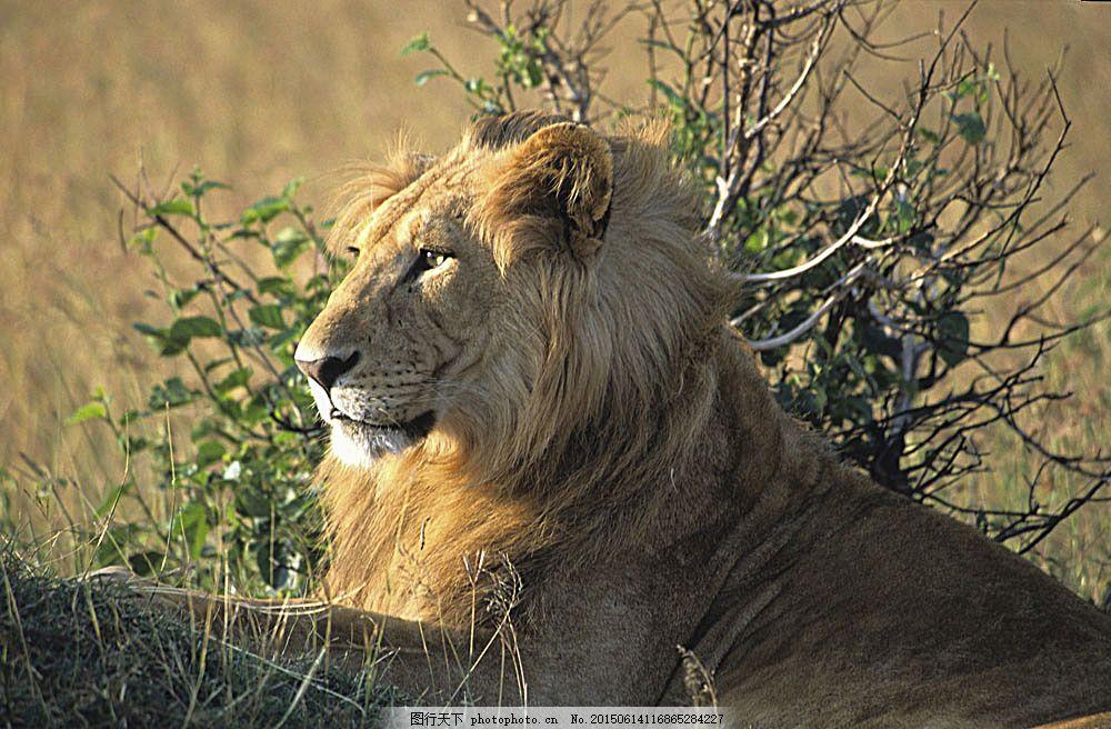 雄狮摄影 狮子 野生动物 动物世界 摄影图 陆地动物 生物世界
