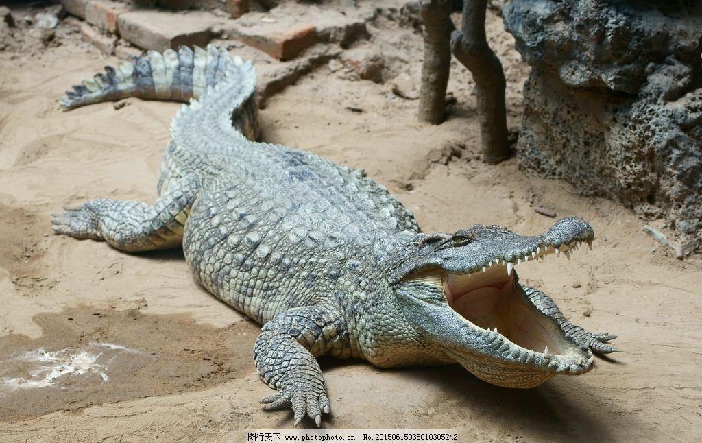 鳄鱼 凶猛 生物 自然 爬行动物 动物园 摄影 生物世界 野生动物 350