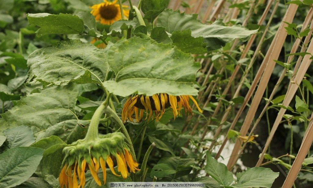向日葵 太阳花 开放的向日葵 生长的葵花籽 植物 花 种子 摄影 生物