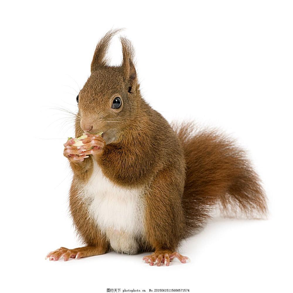 松鼠 动物世界 野生动物 动物摄影 陆地动物 生物世界 图片素材