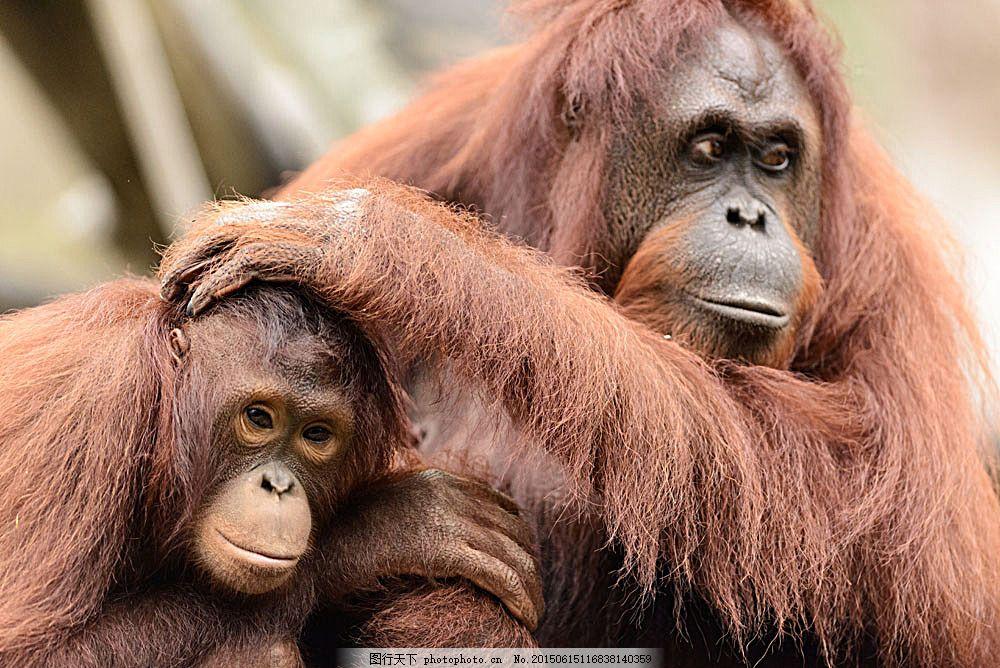 大猩猩和小猩猩 动物世界 动物摄影 野生动物 生物世界 陆地动物