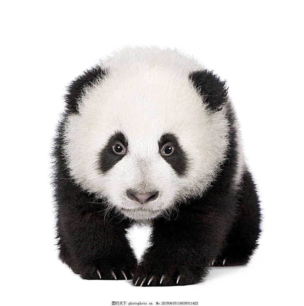 可爱大熊猫 野生动物 国宝 动物摄影 动物世界 陆地动物 生物世界