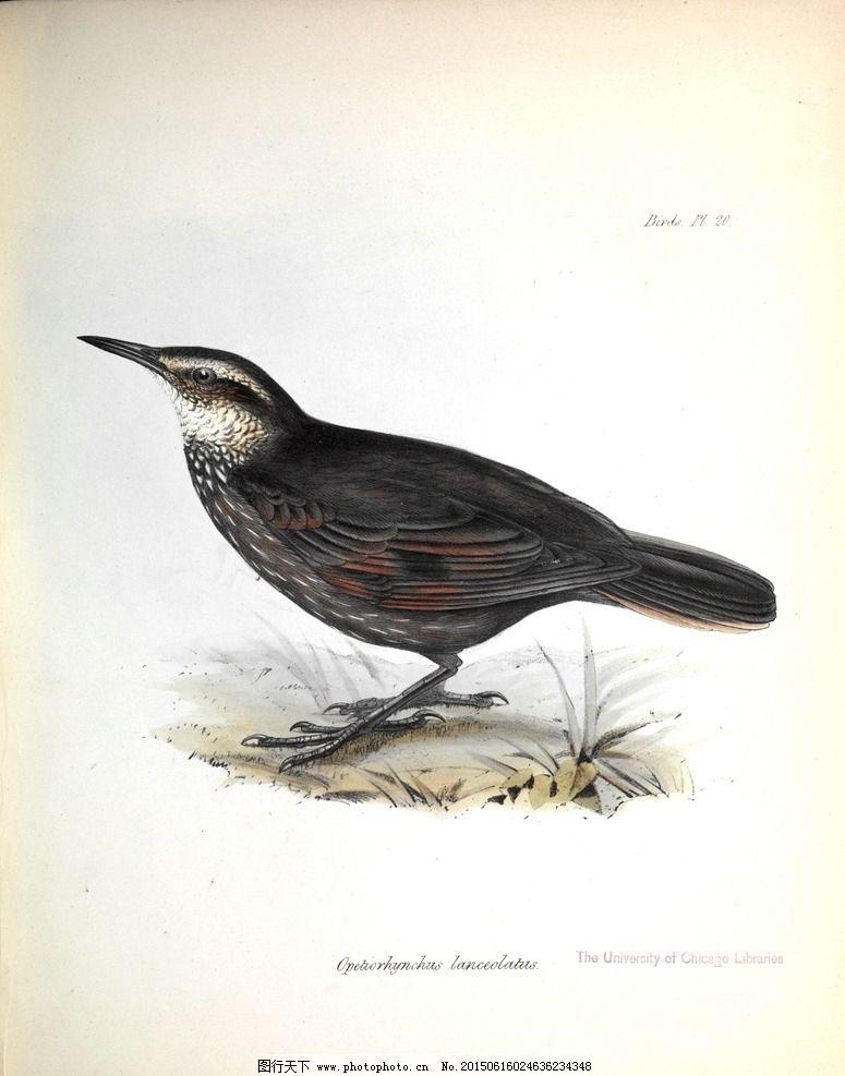 手绘小鸟 高清鸟类插画 手绘鸟类 鸟类太阳鸟 美国鸟类 亚洲鸟类 澳大