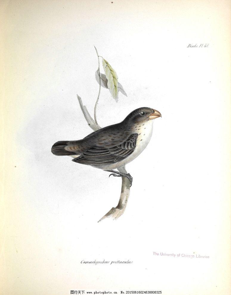 高清鸟类插画 装饰画素材 手绘图片