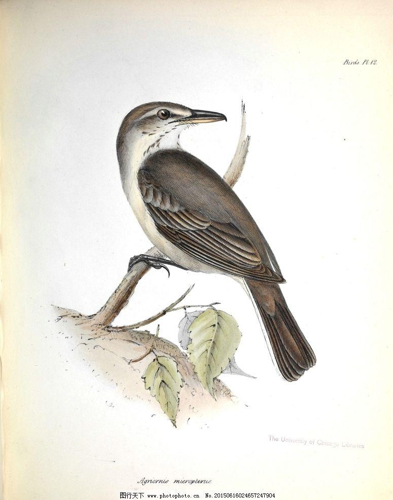手绘小鸟 高清鸟类插画 手绘鸟类 鸟类太阳鸟 美国鸟类 亚洲鸟类