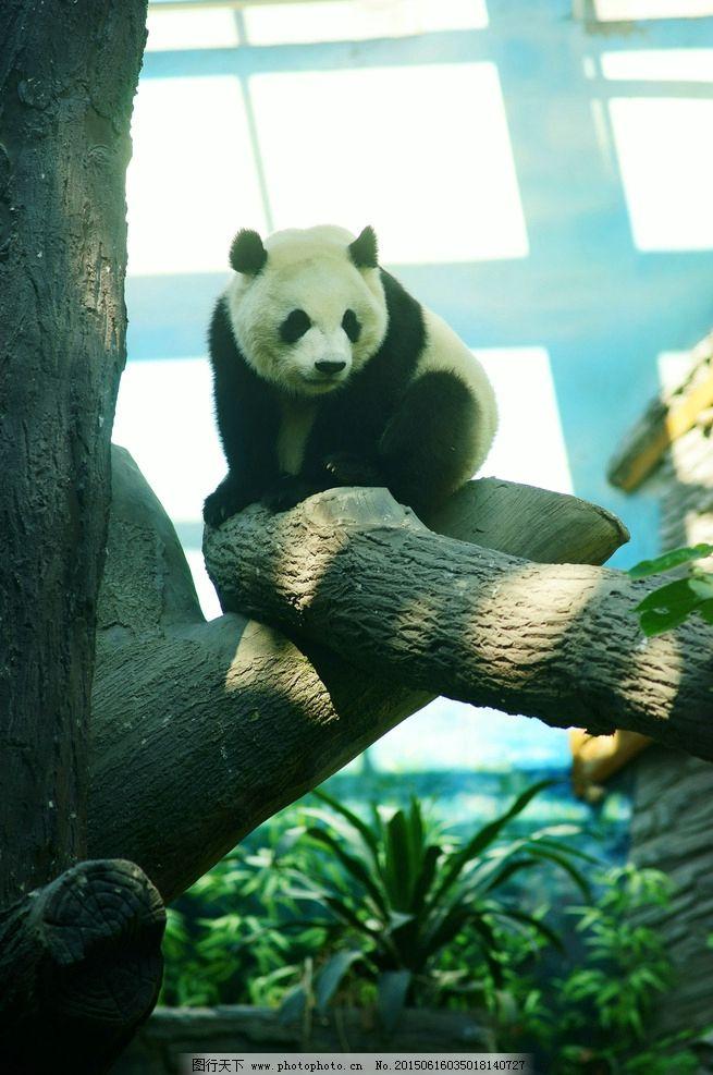 熊猫 萌 可爱 生物 动物 野生动物 自然 珍稀 摄影 生物世界 野生动物