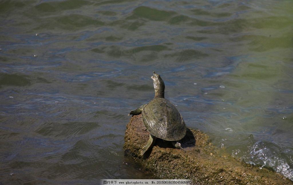 野生甲鱼 野外甲鱼 甲鱼上岸 岩石 鳖 野生鳖 户外 养殖 野生动物