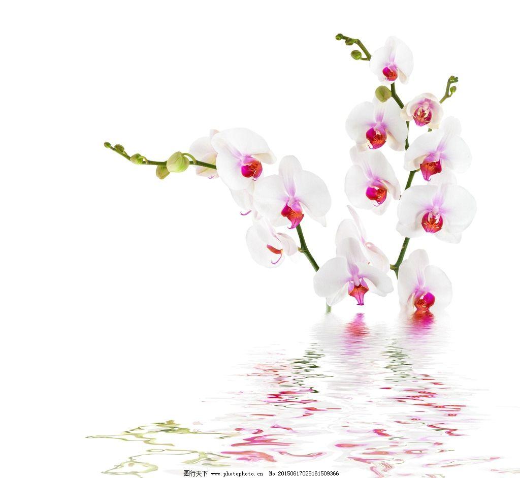 空白背景花卉摄影图片