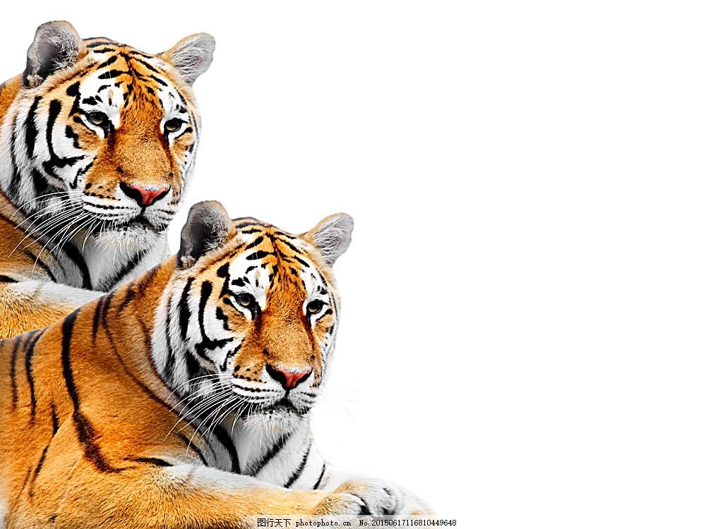 老虎 猫科动物 动物世界 野生动物 陆地动物 生物世界 图片素材
