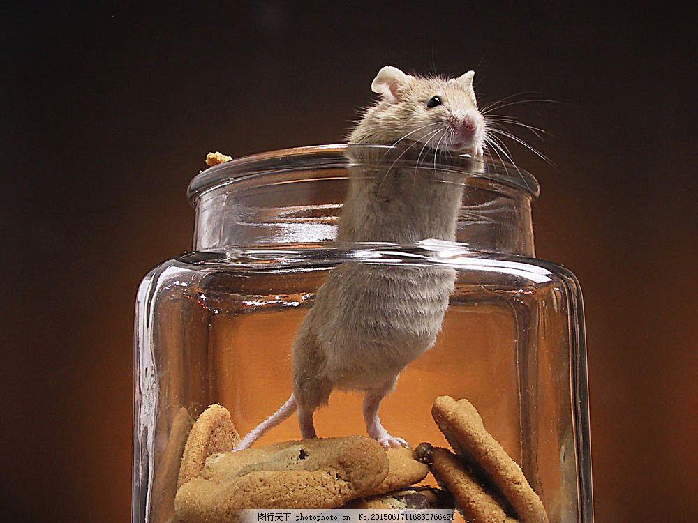 站立在瓶子里的小老鼠 动物 小老鼠 可爱 无辜 罐子 食物 饼干 陆地