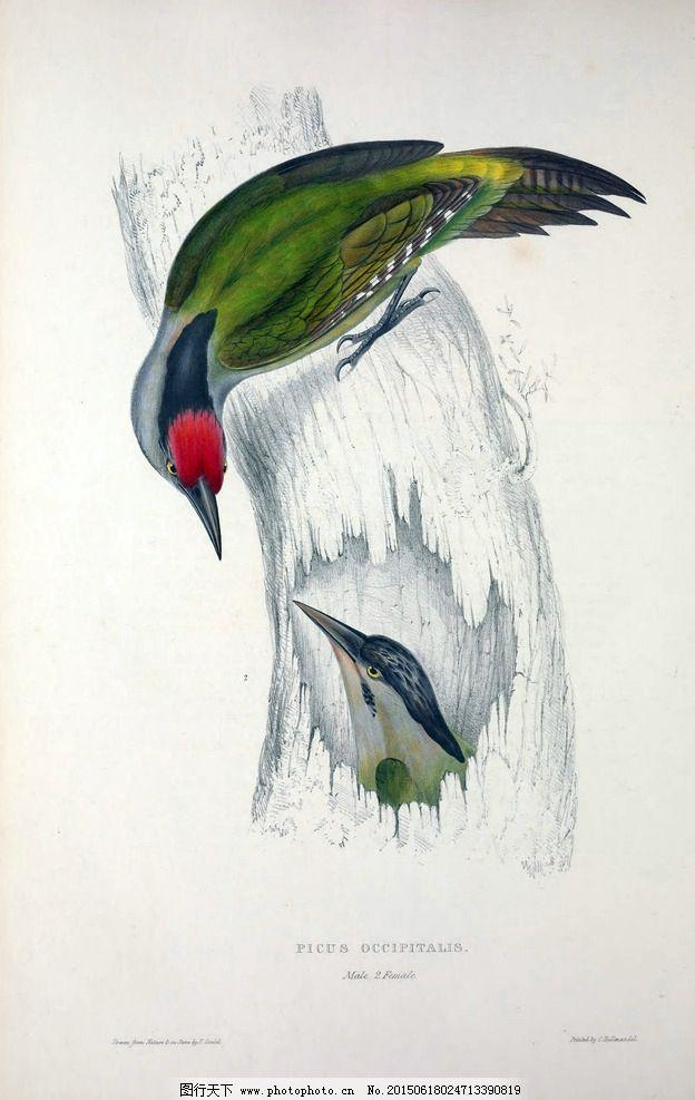 彩色小鸟插画 高清鸟类手绘 花鸟画 西方绘画 工笔花鸟 花鸟装饰画