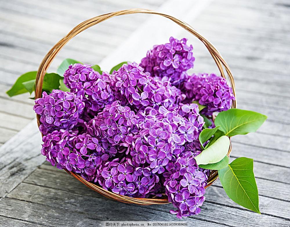 美丽紫丁香花篮 美丽鲜花 美丽花卉 美丽花朵 自然景观 图片素材