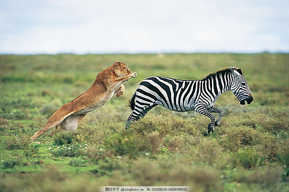 动物 野生动物 捕食 狮子 母狮 斑马 陆地动物 生物世界 图片素材
