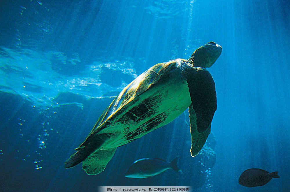 海龟 动物 野生动物 海里 游泳 水中生物 生物世界 图片素材