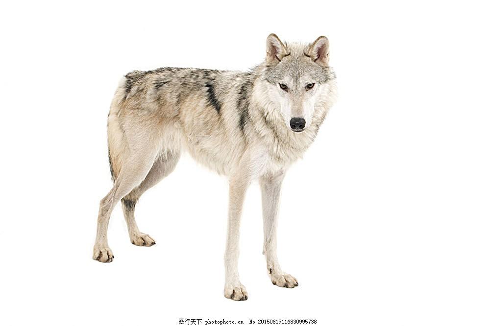 凶猛的狼 动物 野生动物 陆地动物 生物世界 图片素材 白色