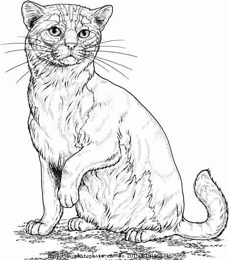 猫科动物素描