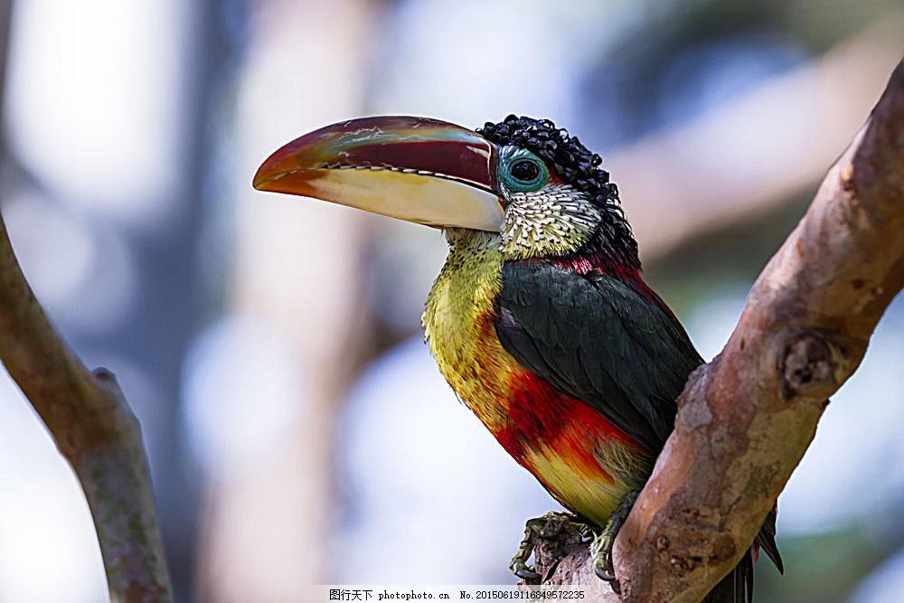 巨嘴鸟摄影 小鸟 飞鸟 鸟类动物 飞禽 野生动物 动物摄影 空中飞鸟