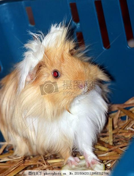 豚鼠 阳光 太阳 海猪舍 甜 可爱 啮齿动物 小动物 幼畜眼睛 毛发 食物