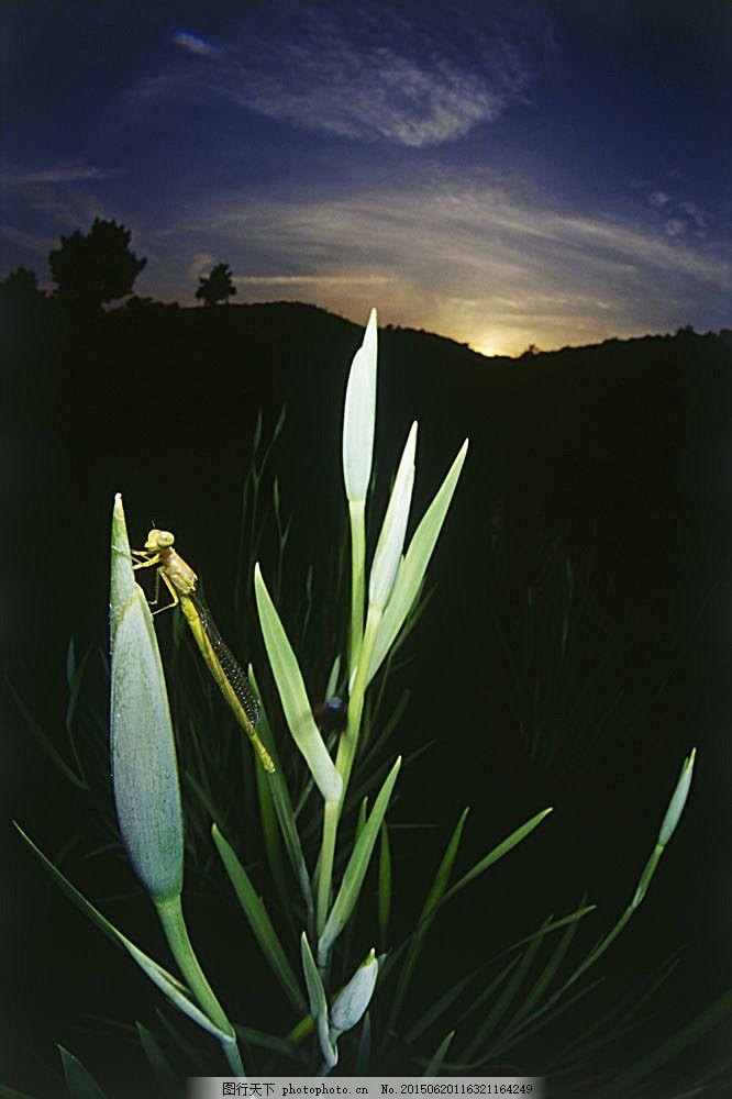绿色植物上的蜻蜓 动物 昆虫 自然风光 大自然 风景 田野 野外