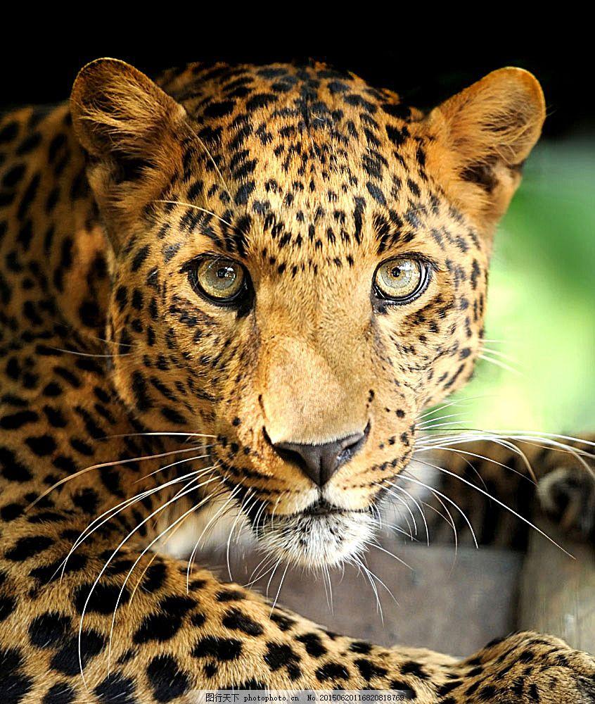 豹子双眼特写 猎豹 野生动物 动物摄影 动物世界 陆地动物 生物世界