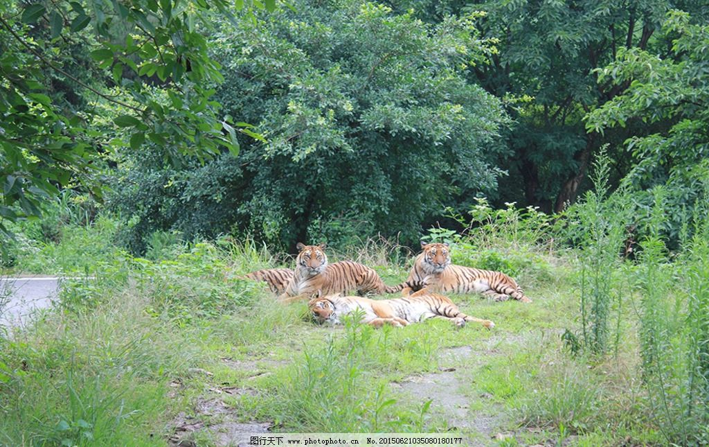 乐和乐都老虎 重庆野生动物 野生动物园 重庆动物园 野兽 猛兽