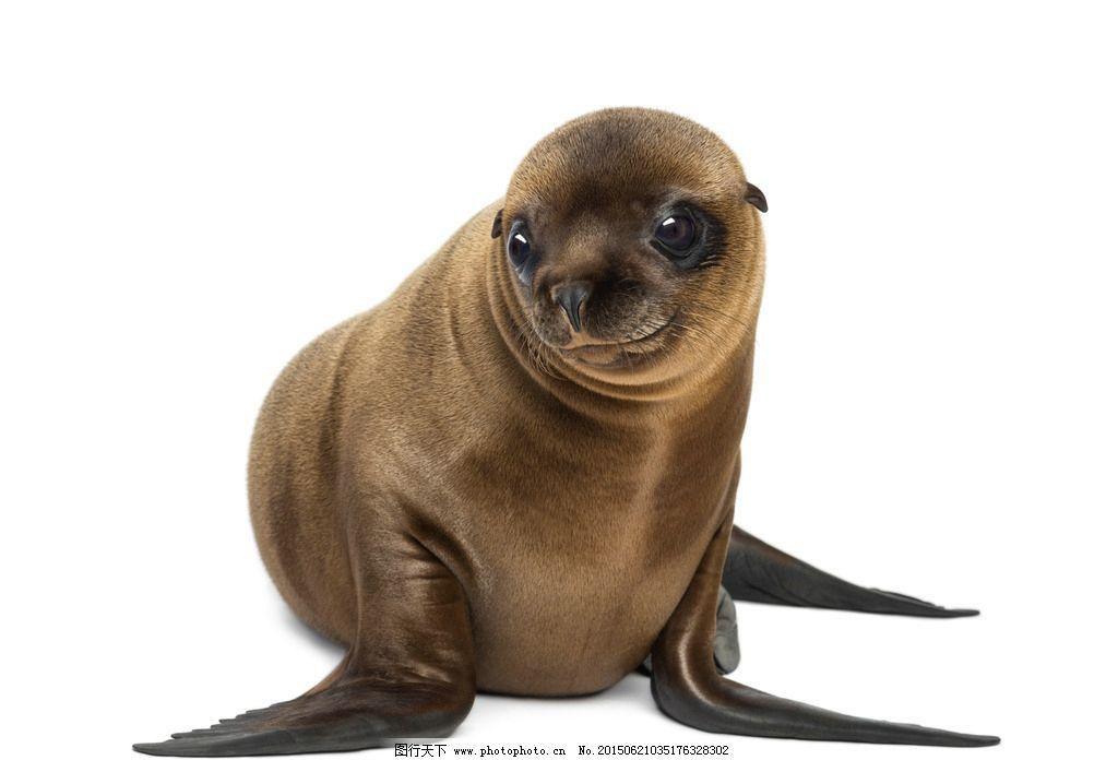 海豹 水生哺乳动物 海狮 动物 小海豹 野生动物 摄影 生物世界 海洋
